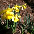 Spring Daffodils - Decorating With Yellow